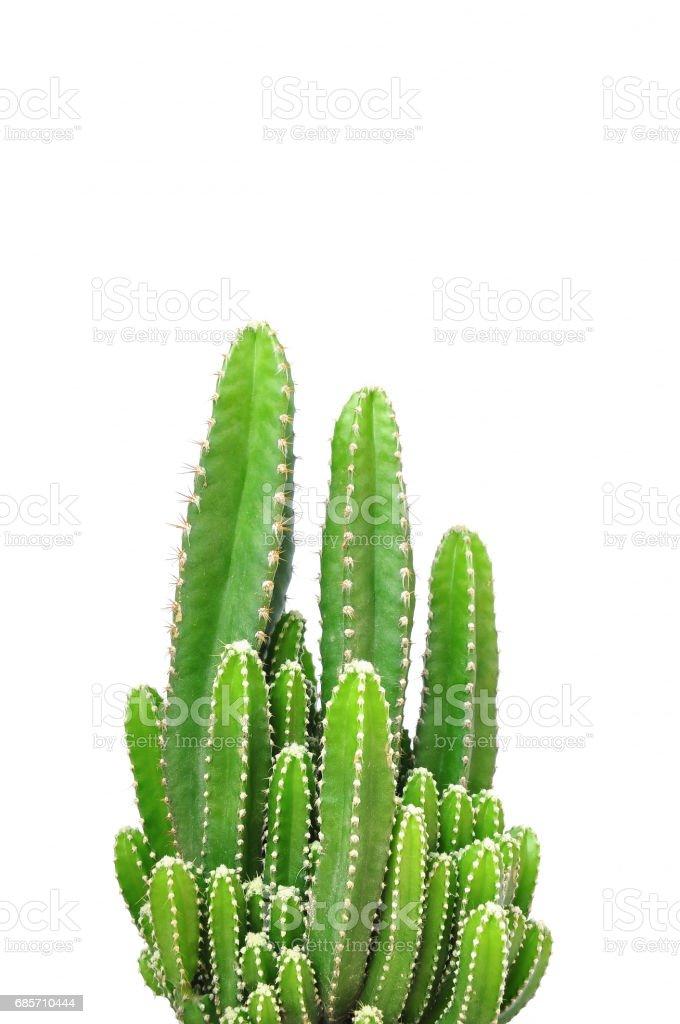 Cactus, isoliert auf weißem Hintergrund Lizenzfreies stock-foto