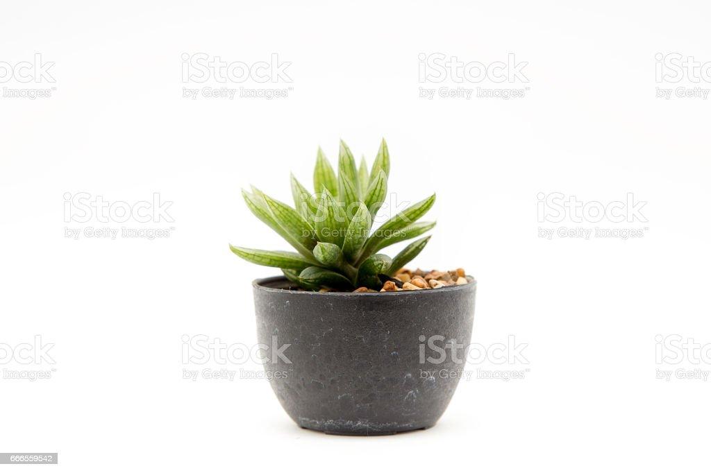 Cactus isolated stock photo