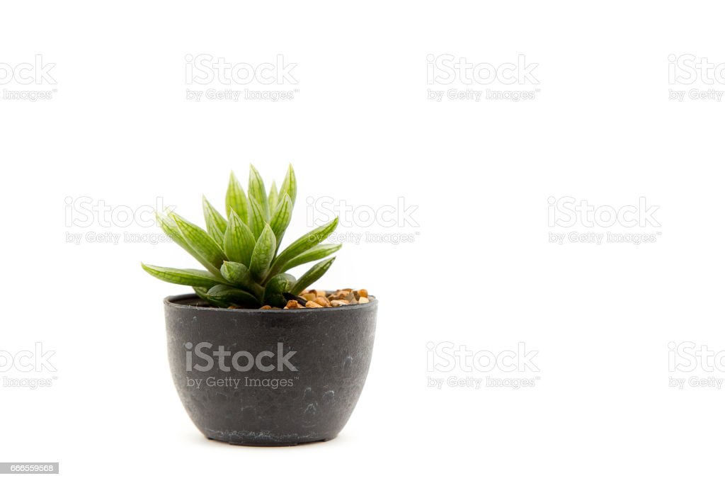 Cactus isolated stock photo
