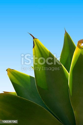 View of some cactus leafs pointing at the blue sky.