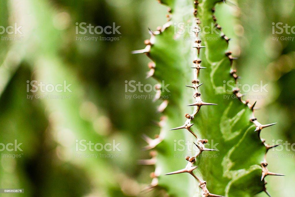 Cactus Leaves B royalty-free stock photo