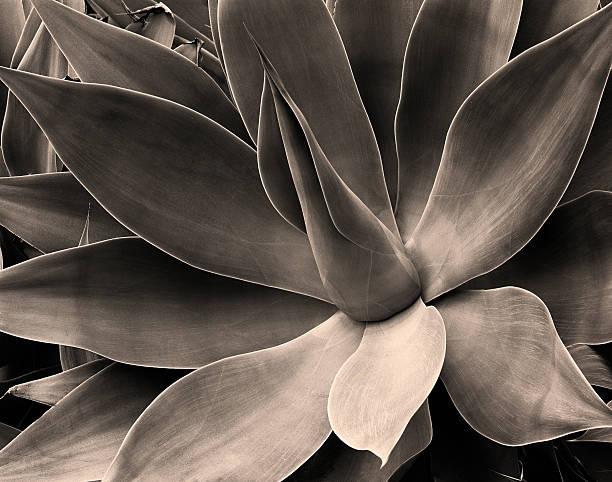Cactus Leaves, California California cactus found in garden. fine art statue stock pictures, royalty-free photos & images