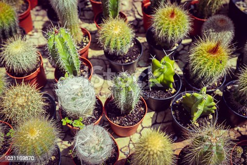Overhead view of an assortment of young cactuses and succulents, healthy and thriving, in little plastic terra-cotta pots. great varied, textured background