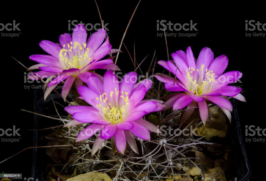 Cactus Lobivia pentlandii stock photo