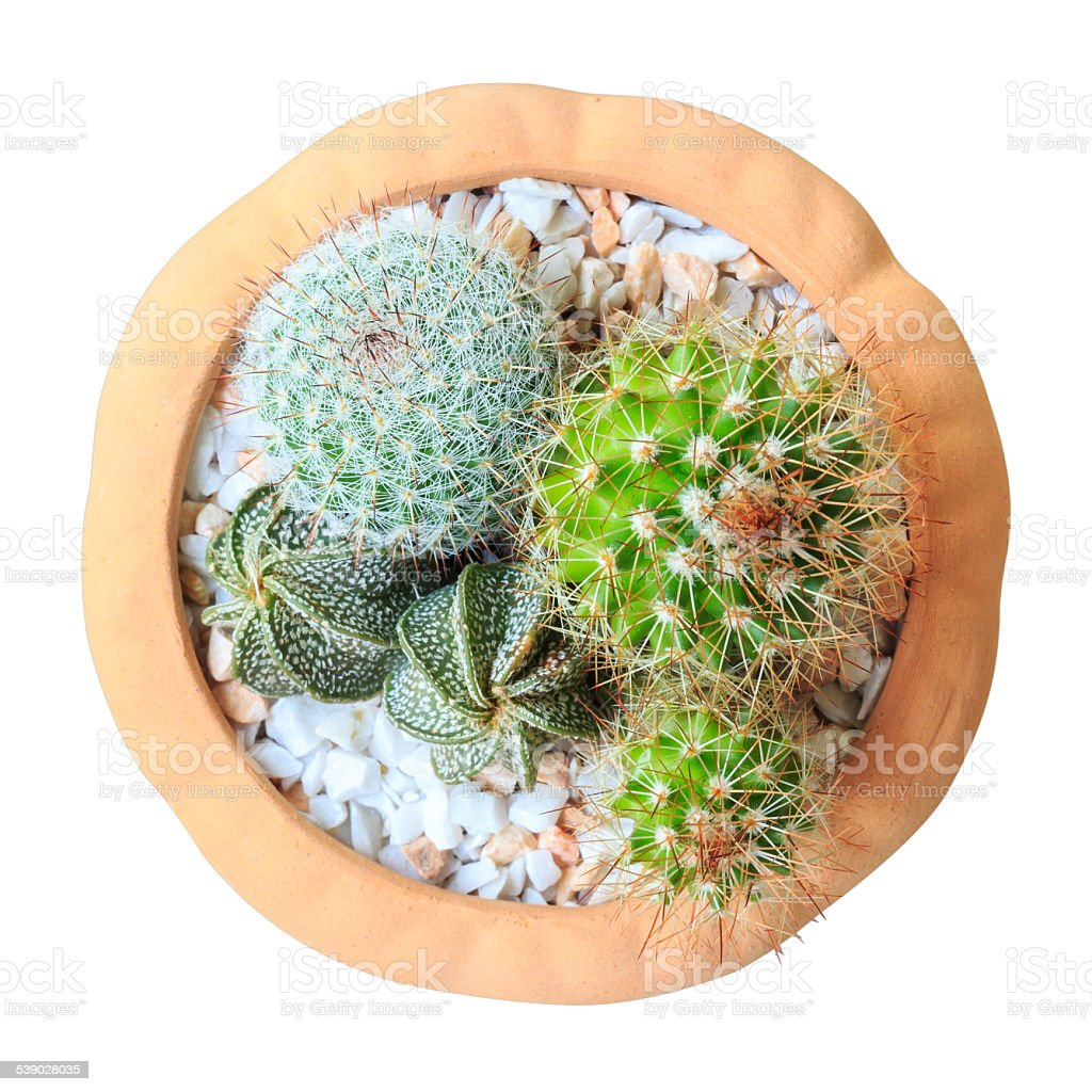 Cactus ( Cereus hexagonus Mill ) on flowerpot stock photo