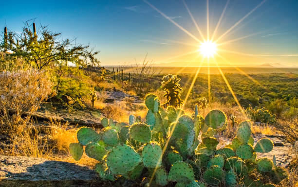 Cactus on Hill Overlooking the Sonoran Desert at Sunset Wide shot of a small cactus on rocky dry hillside in the Sonoran Desert at sunset - Saguaro National Park, Arizona, USA tucson stock pictures, royalty-free photos & images