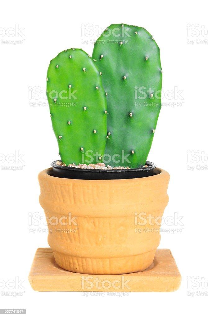 Cactus ( Opuntia ) on isolated background stock photo