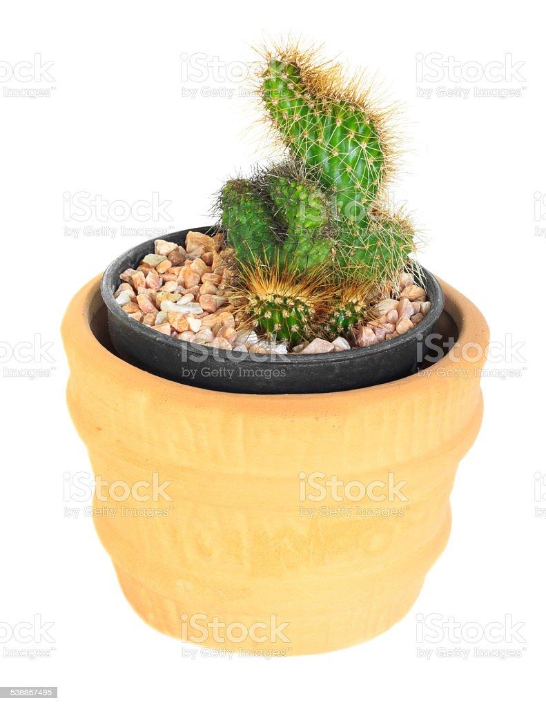 Cactus on isolated background ( Cereus hexagonus Mill ) stock photo