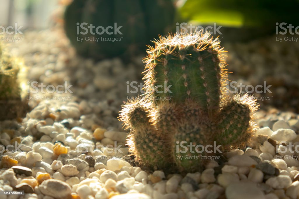 Cactus on the ground decorate with white small rock. royalty-free stock photo