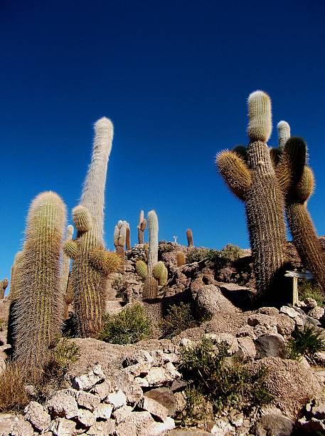 cactus auf der insel salar de uyuni in bolivien - kaktusfrucht stock-fotos und bilder