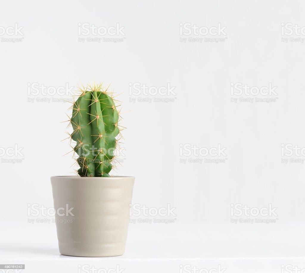 cactus on white stock photo