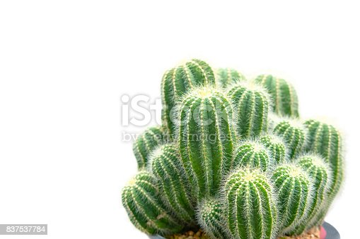 The cactus in pot on white background.