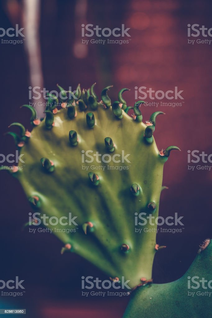 Cactus Pad stock photo