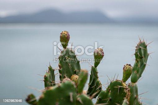 Image with the cactus palma (Portuguese: figueria-da-india), Opuntia ficus-indica