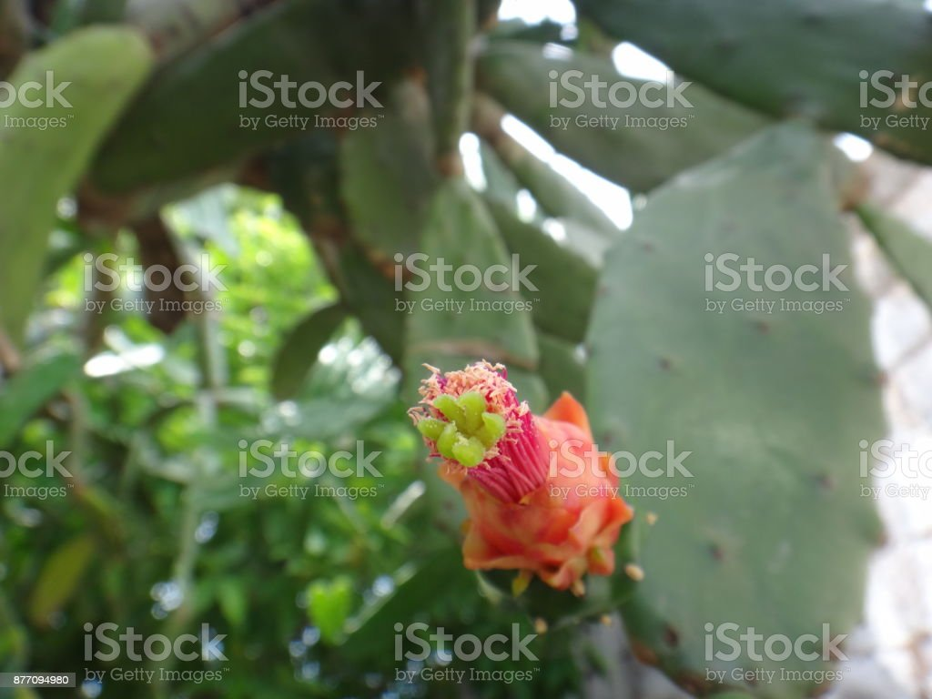 Cactus pear flower stock photo
