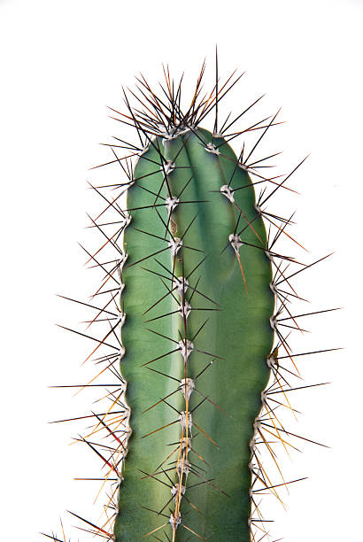 cactus - sharp stock photos and pictures