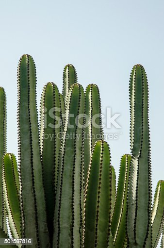 Canarian Cactus