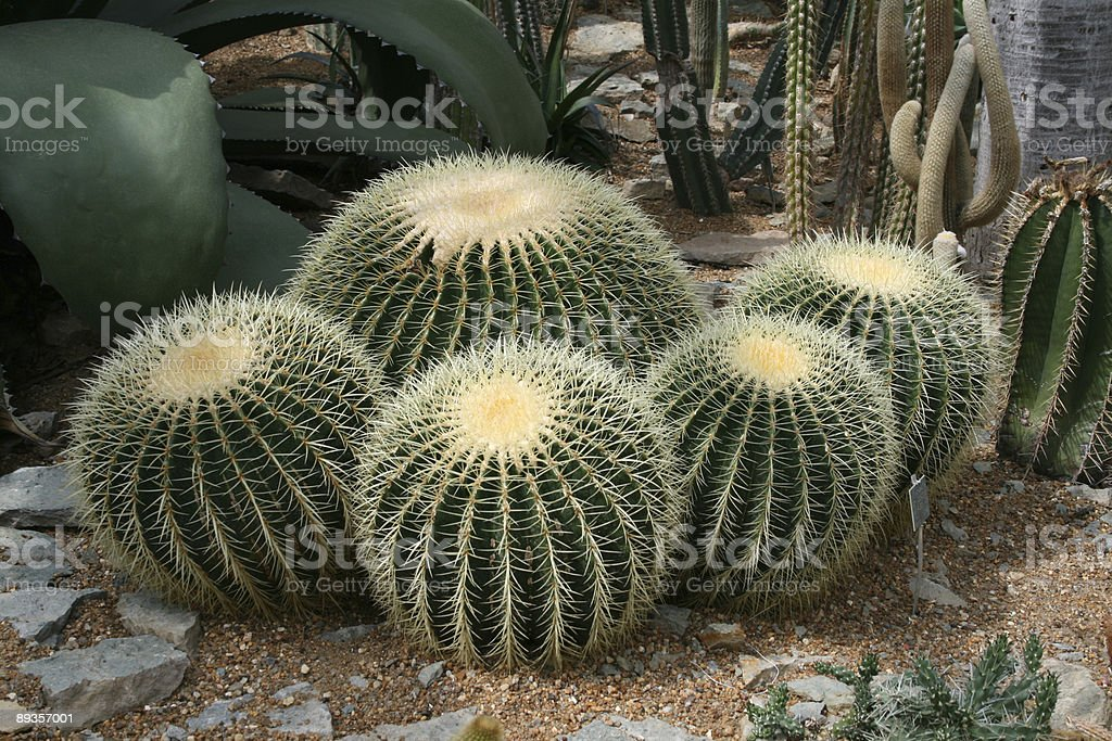 Cactus foto stock royalty-free