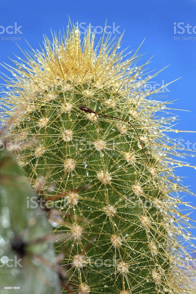 Cactus foto de stock libre de derechos
