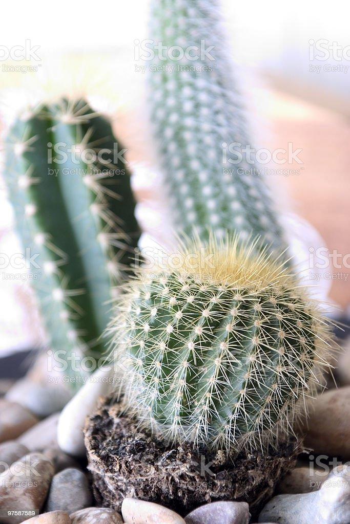 Cactus royaltyfri bildbanksbilder