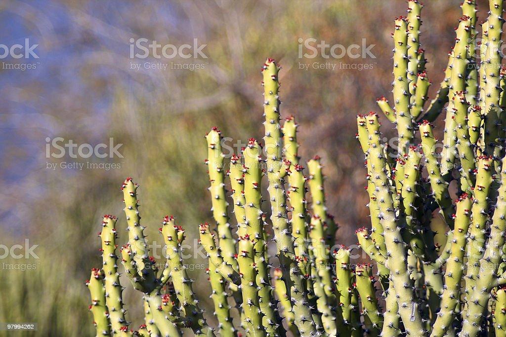 Cactus royalty free stockfoto