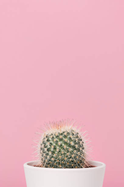 Cactus plant against pink background stock photo