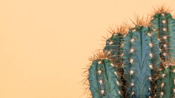 Cactus plant close up. Trendy yellow minimal background with cactus plant. stock photo