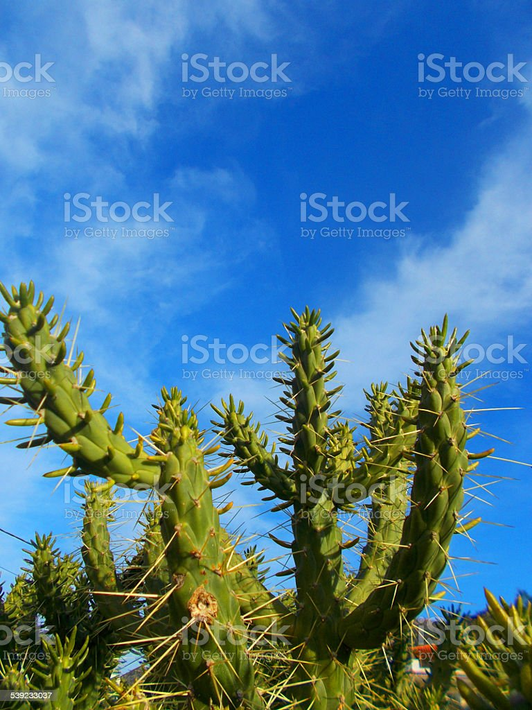 Cactus plant in front of a blue sky stock photo
