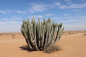 A Cactus plant in the Namibian desert