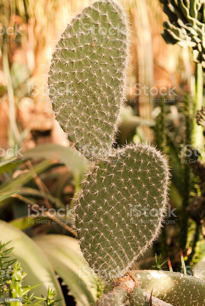 Cactus plant royalty-free stock photo