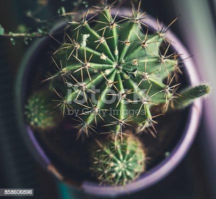 Cactus plants in flower pot
