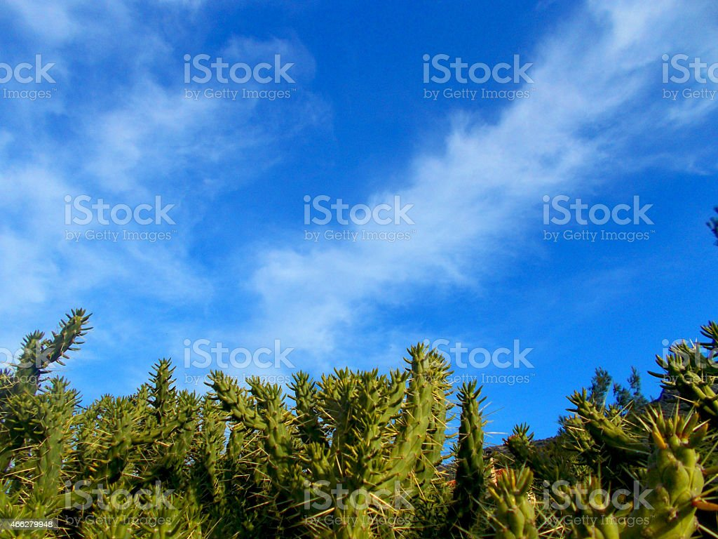 Cactus plants in front of a blue sky stock photo