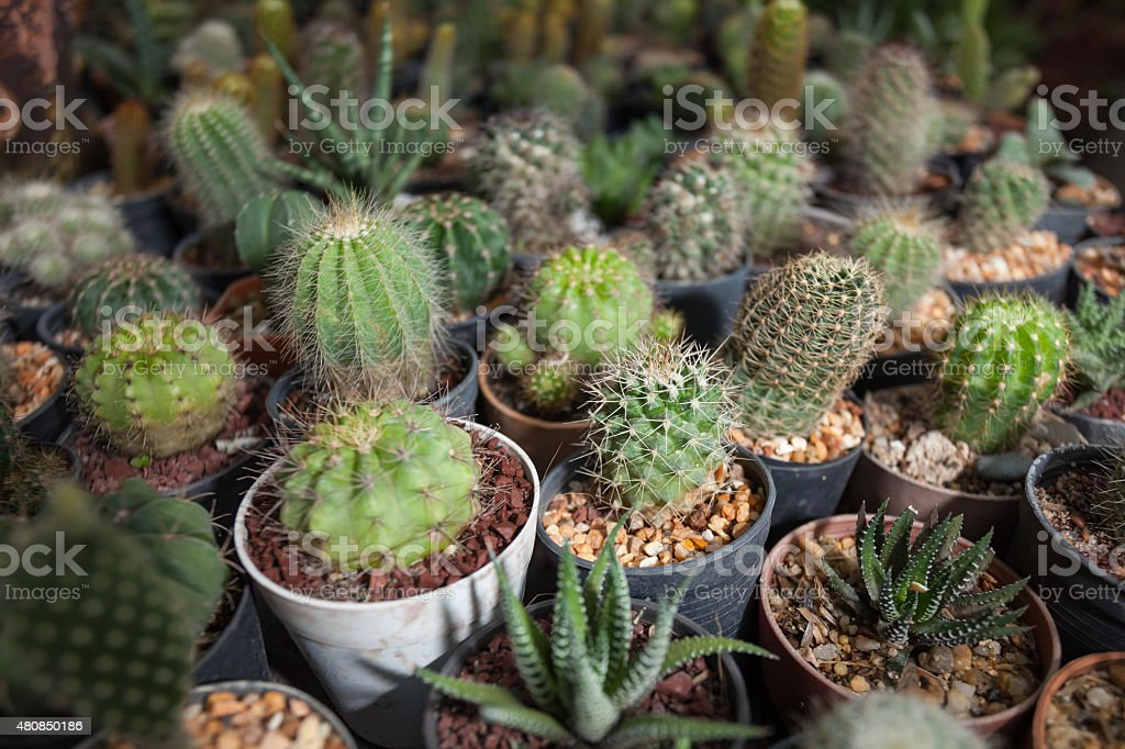Cactus plants in garden stock photo