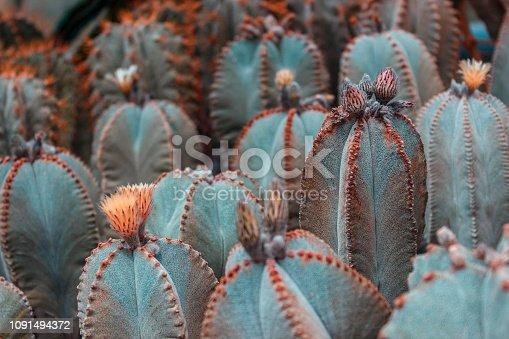 Cactus plants or Astrophytum asterias is a species of cactus plant in the genus Astrophytum at cactus farm. Nature Green Cactus Pot. Cactus patterns. Cactus plants Astrophytum with blurred background.