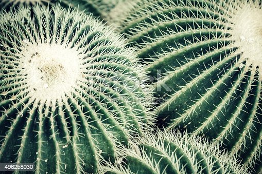 Group of round cactuses.
