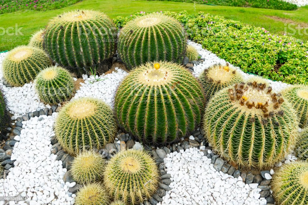 Cactus Plants royalty-free stock photo