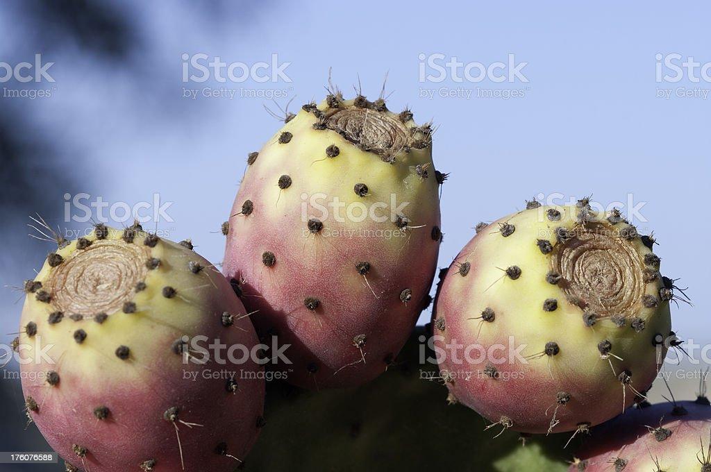 Cactus Prickly Pear stock photo royalty-free stock photo