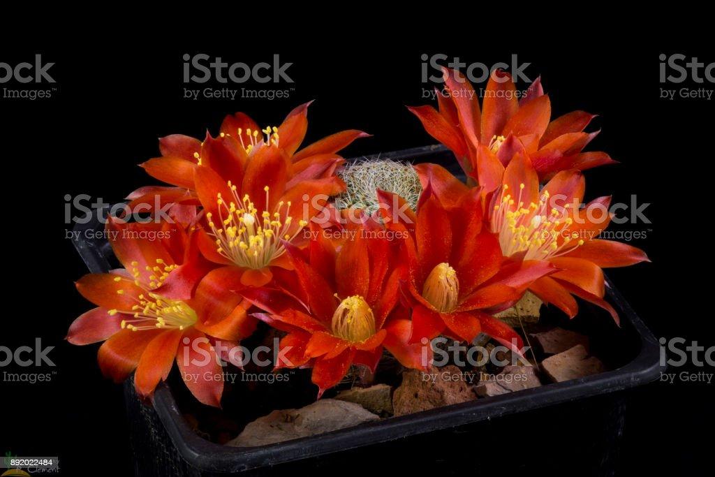 Cactus rebutia heliosa theresae stock photo
