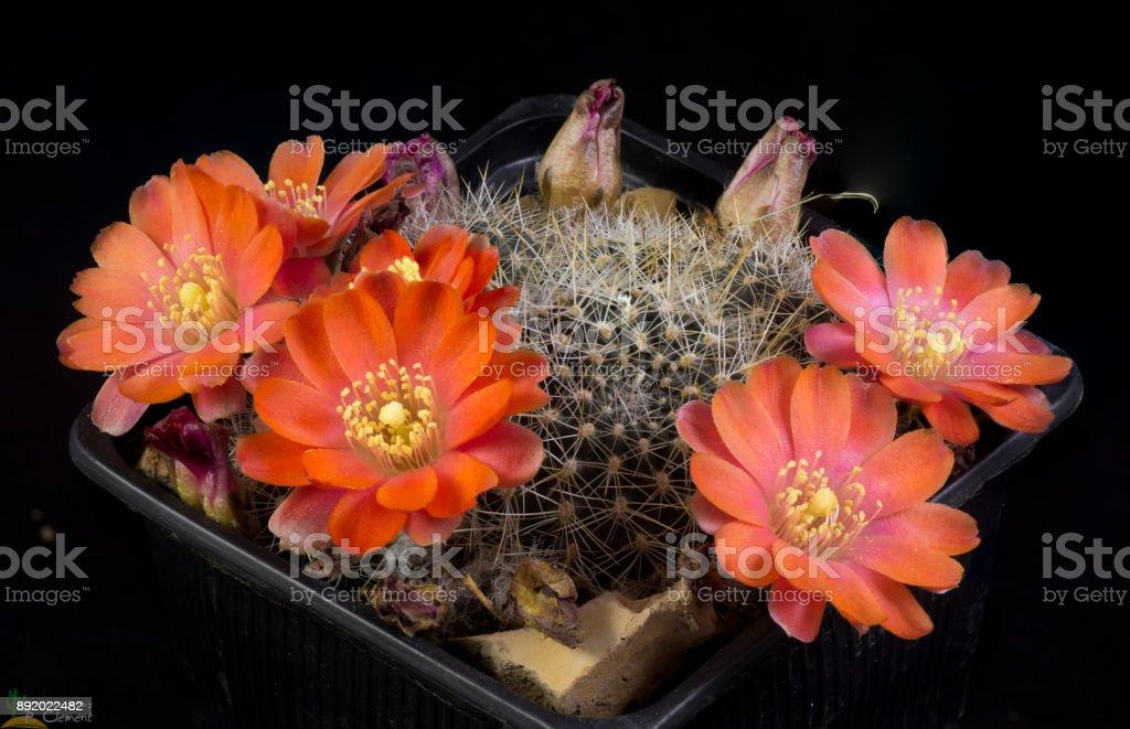 Cactus Rebutia huarinensis stock photo
