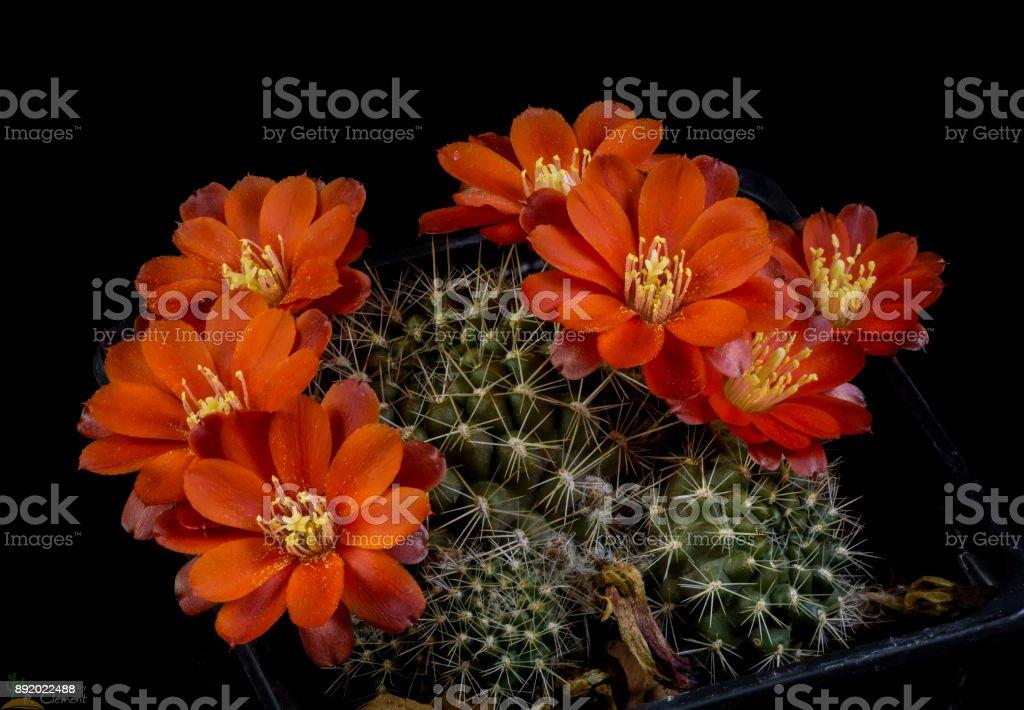 Cactus Rebutia lateritia blooming stock photo