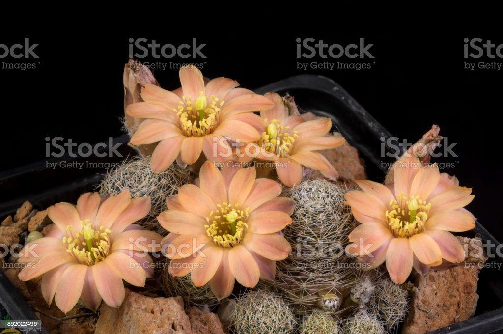 Cactus Rebutia pygmaea stock photo