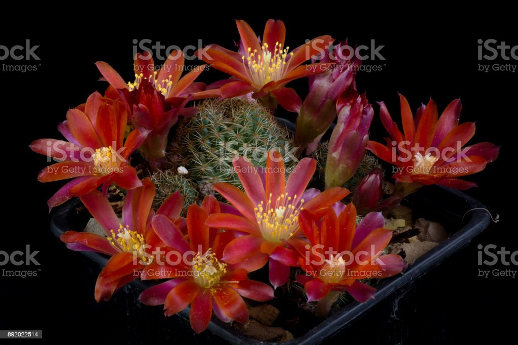 Cactus Rebutia sp stock photo