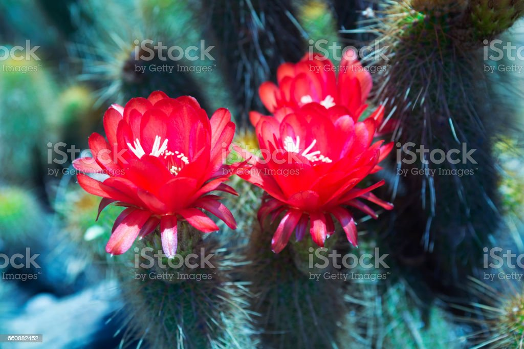 Cactus red flowers stock photo