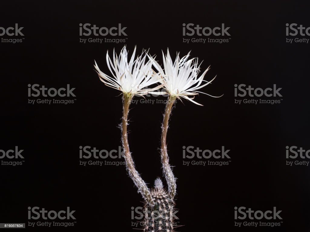 Cactus sediechinopsis mirabelis with two blooming blossoms stock photo
