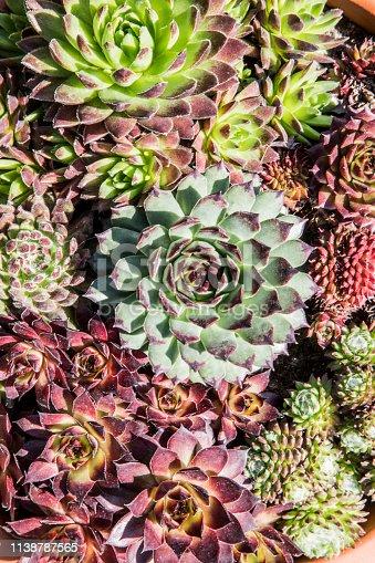 Green succulents plants macro