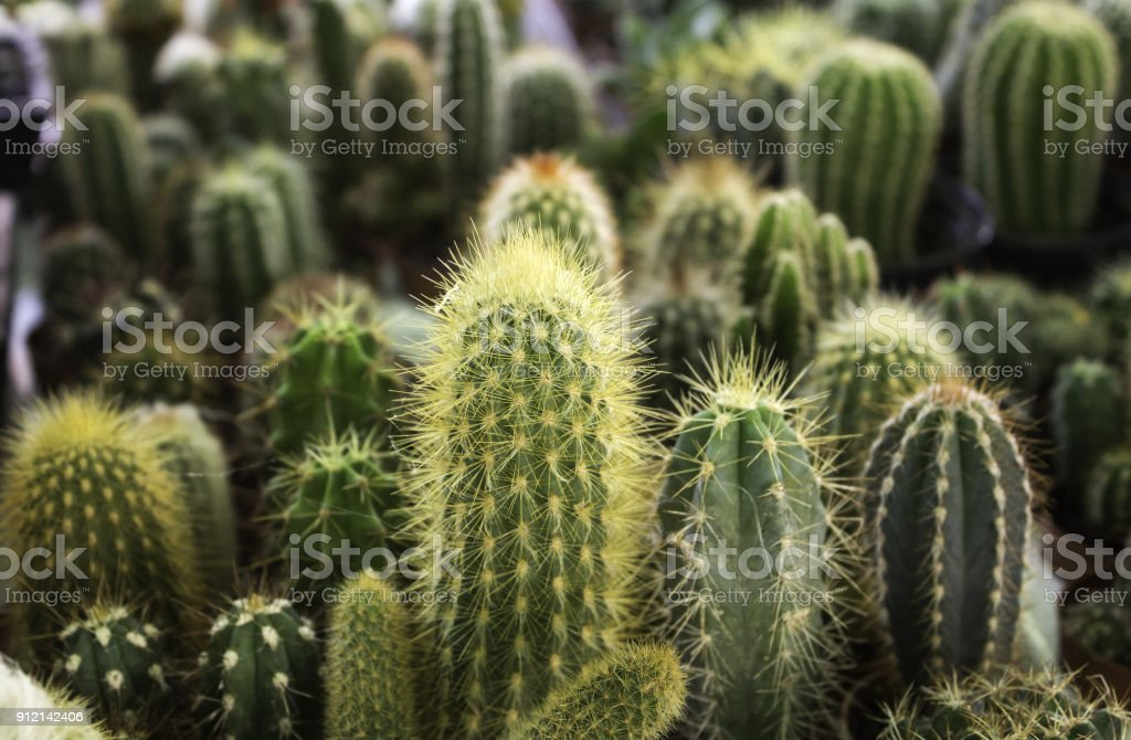 Cactus small plants