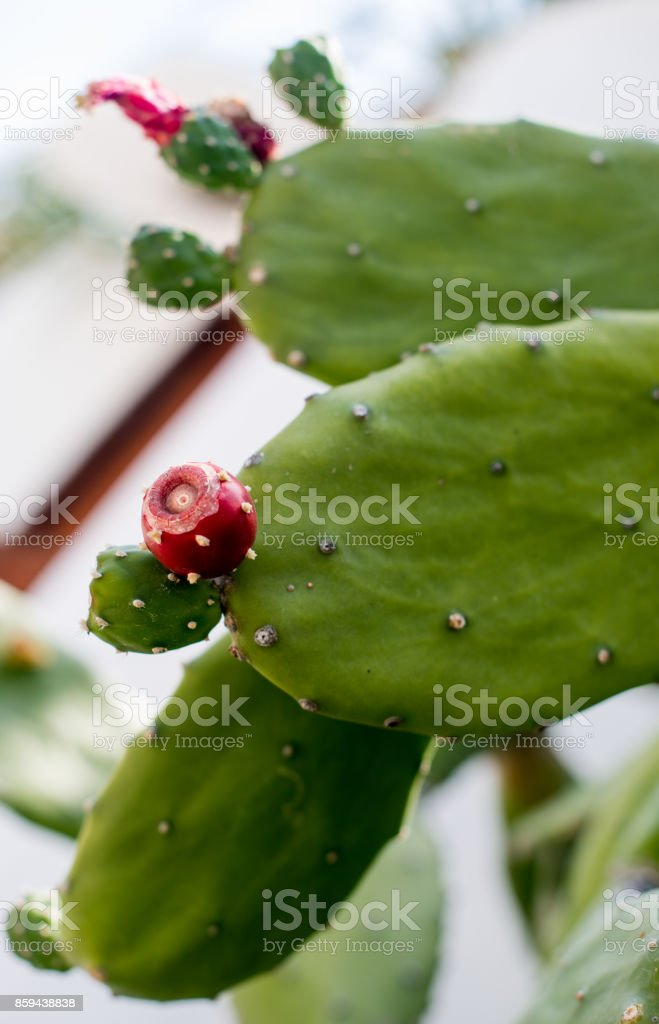 Cactus small red berry. stock photo