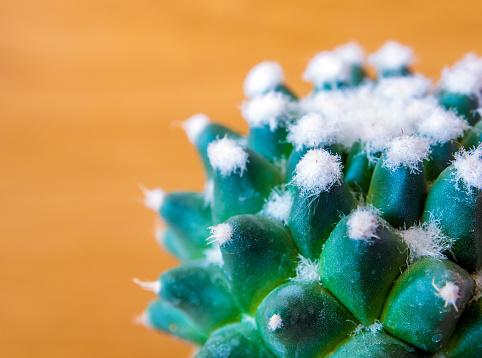 Cactus species Mammillaria gracilis cv. white caterpillar