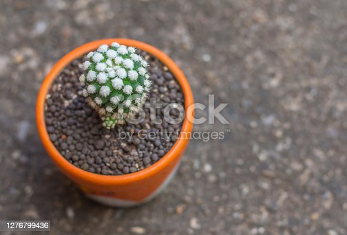 Cactus succulent plant close-up, Mammillaria gracilis cv. oruga blanca