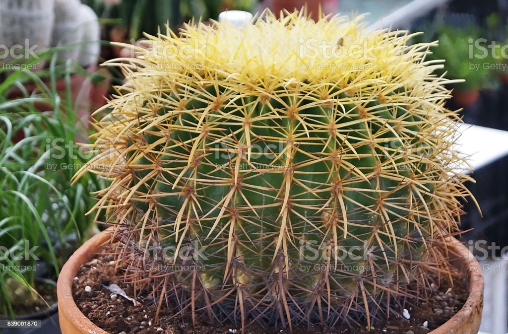 Cactus succulent plant stock photo